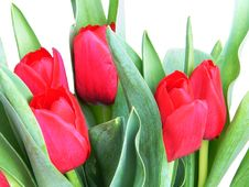 Free Red Spring Tulips Stock Photo - 4656310