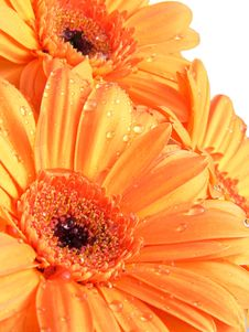 Free Detail Of Orange Gerber And Water Drops Royalty Free Stock Photography - 4656347
