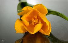 Free Yellow Tulips Stock Photography - 4656872