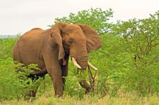 Free Elephant Grazing And Flapping Ears Royalty Free Stock Photography - 4657777