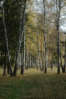 Free Morning In The Autumn Birch Forest Royalty Free Stock Images - 4658309