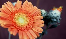 Free Orange Gerber Daisy Stock Photo - 4658320