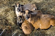 Free Sheep Family Royalty Free Stock Photo - 4658575