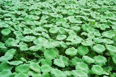 Free Lotus Leaves Royalty Free Stock Photography - 4658867