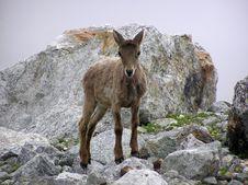 Free Mountain Goat Stock Image - 4659421