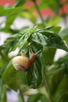Snail On The Leaves Stock Photography