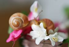 Free Baby Snail On The Pink Flower Royalty Free Stock Photos - 4662248