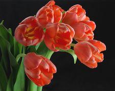 Free Pink Tulips Black Background Royalty Free Stock Image - 4662366
