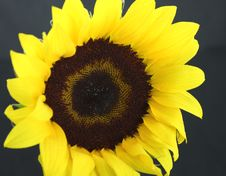 Free Yellow Sunflower Royalty Free Stock Photo - 4662385