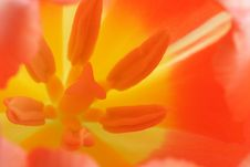 Free Hot Color Of Tulip Royalty Free Stock Images - 4662779