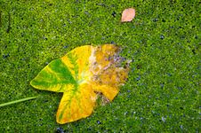 Free One In A Million Yellow Leaf With Lots Of Green Le Royalty Free Stock Photography - 4663457