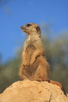 Free Prairie Dog 2 Stock Photos - 4663863