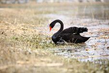 Free Black Swan Stock Image - 4664001
