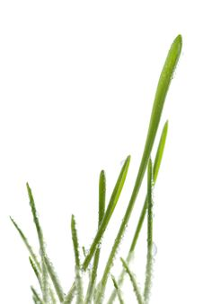 Free Fresh Grass Isolated Royalty Free Stock Images - 4664079