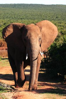 Free African Elephant Bull Royalty Free Stock Photography - 4664507