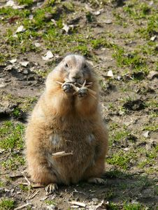 Free Black-tailed Prairie-dog Stock Photo - 4665170