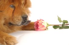 Free Chow-chow Royalty Free Stock Photography - 4665547