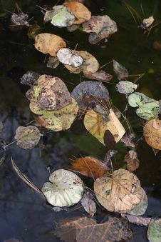 Autumn Leaves On Water 1 Stock Image