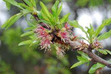 Free Peach Blossom Stock Image - 4666061