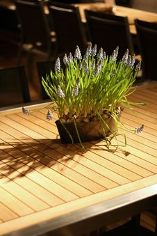 Free Grape Hyacinth On A Garden Table Royalty Free Stock Photo - 4666485