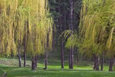 Weeping Willow Stock Photos