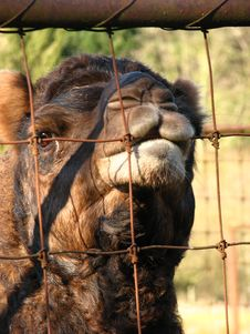 Free Camel At The Fence Royalty Free Stock Photo - 4667055