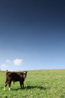 Free Cow On The Chain Royalty Free Stock Photo - 4667105