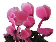 Free Cyclamen Royalty Free Stock Photos - 4667278