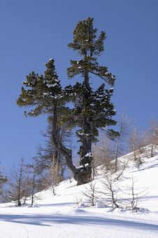 Free Pine Tree On A Snowy Slope Stock Images - 4667484