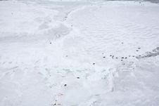 Free Ice-floe With Harp Seals Royalty Free Stock Photo - 4668055