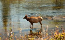 Free Elk In Stream Stock Photography - 4668472