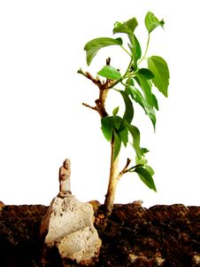 Bonsai And Monk Royalty Free Stock Photos