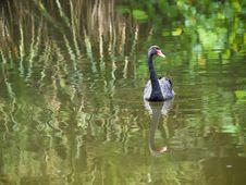 Free Black Swan Stock Photos - 4669983