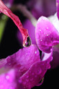 Free Water Drioplet On Orchid Plant Royalty Free Stock Photography - 4671147