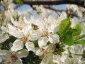 Free Spring Flower Royalty Free Stock Photo - 4672425