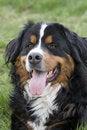 Free Bernese Mountain Dog Stock Photos - 4674123