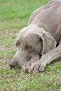 Free Weimaraner Dog Stock Photography - 4675822