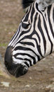 Free Zebra Stock Photography - 4677282