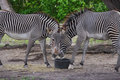 Free Zebras Sharing A Meal Stock Photos - 4677533