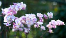 Free Phalaenopsis Inflorescence Stock Photo - 4670090