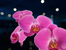 Free Orchid Royalty Free Stock Images - 4670719