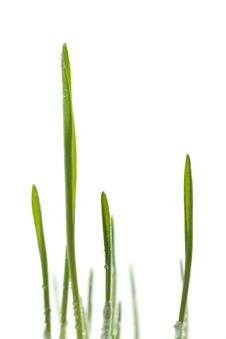 Free Fresh Grass Isolated Stock Photos - 4670783