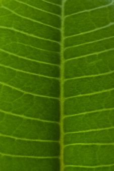 Free Macro Of Spurge Leaf Royalty Free Stock Photography - 4670797