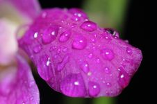 Free Water Droplets On Orchid Stock Photo - 4671110