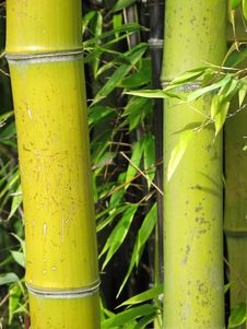 Free Green Bamboo Forest Royalty Free Stock Images - 4671159