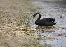 Free Black Swan Stock Photos - 4671333