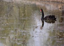 Free Black Swan Stock Images - 4671334