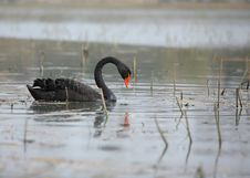 Free Black Swan Royalty Free Stock Photos - 4671388