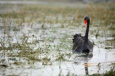 Free Black Swan Royalty Free Stock Photos - 4671418