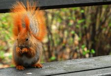 Free Squirrel On Bench Royalty Free Stock Photos - 4671488